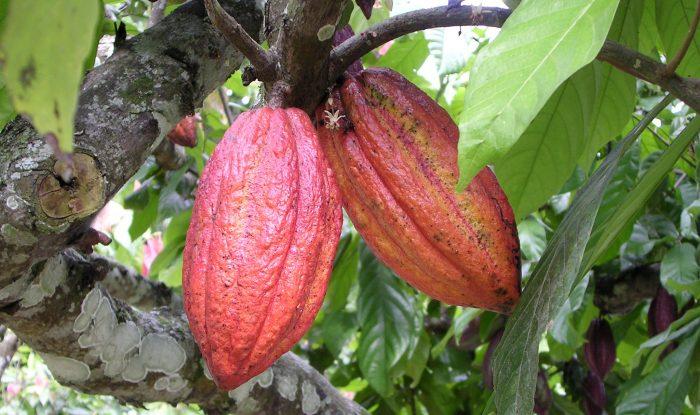 какао дерево e1512326636138 - Шоколад - полезное удовольствие!