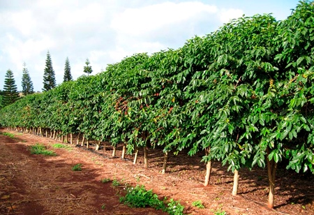 кофе арабика плантация