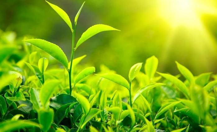 листя чая - Чай — напиток здоровья и долголетия!