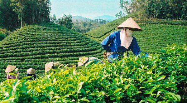 сбор зеленого чая e1512393445809 - Виды зеленого чая - палитра вкусов и ароматов!