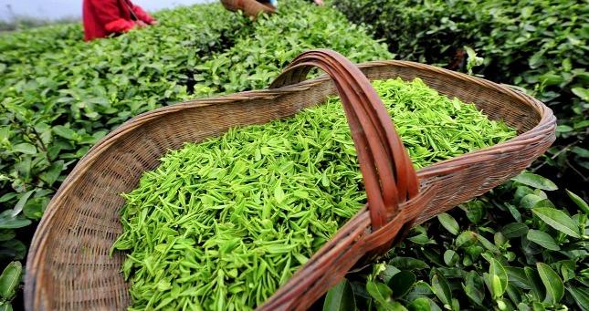 сбор чая - Виды зеленого чая - палитра вкусов и ароматов!