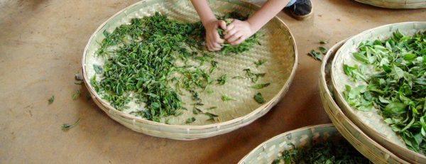 сминание чая e1512393486169 - Виды зеленого чая - палитра вкусов и ароматов!