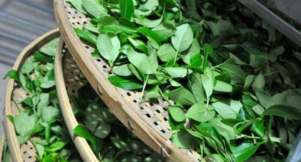 сушка чайных листьев e1512393527900 - Виды зеленого чая - палитра вкусов и ароматов!