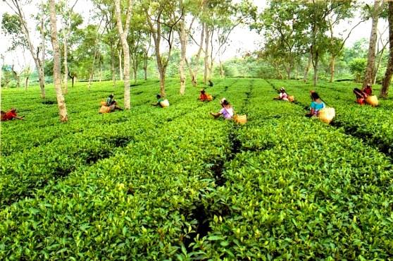 assam tea чайные плантации