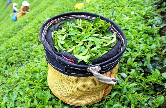 Assam Tea - Индийский черный чай - пей и танцуй:)