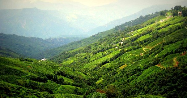 darjeeling tea чайные плантации