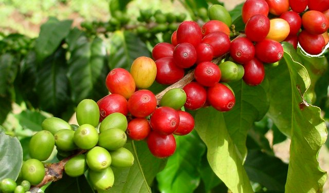 кофейное масло для лица