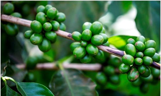масло зеленого кофе для лица - Масло кофе - применение в домашних условиях